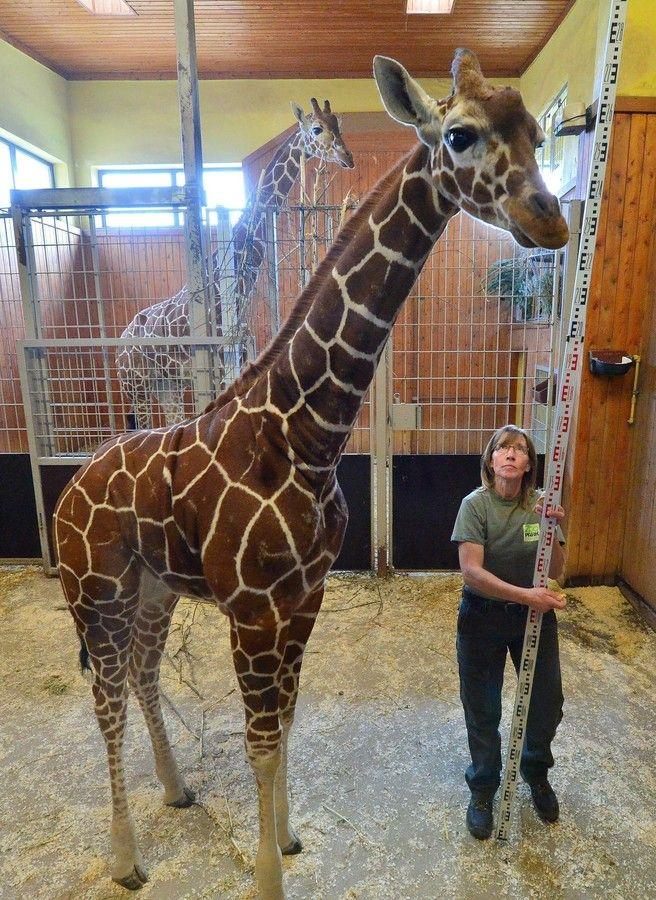 キリンの赤ちゃん身体測定、独動物園