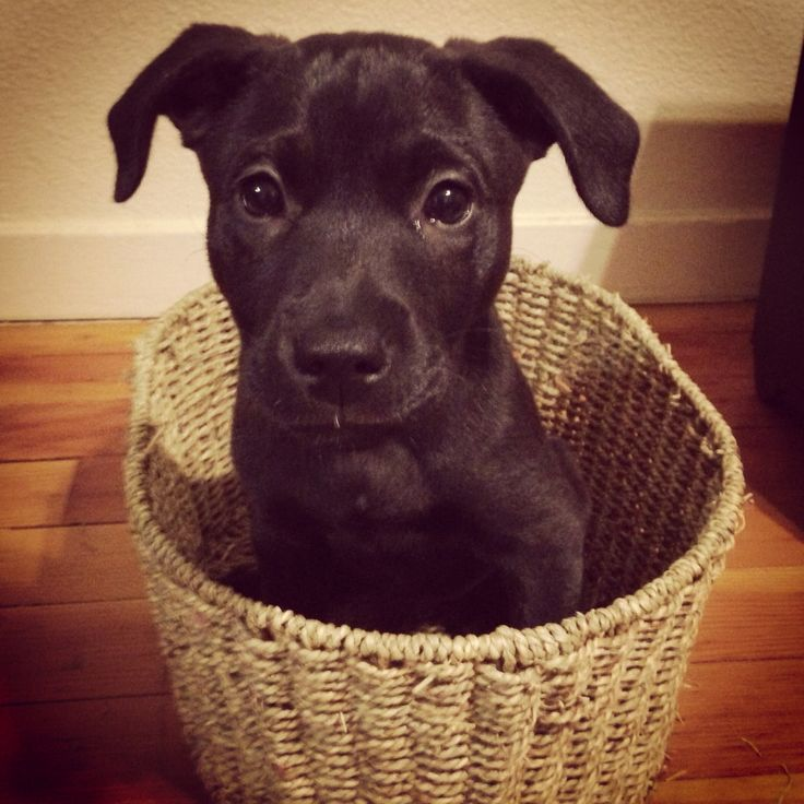 "Harvey~ black lab pit mix * * SHORT ATTENTION SPAN THEATER SYNDROME: "" Kin I comes out nowz ? """