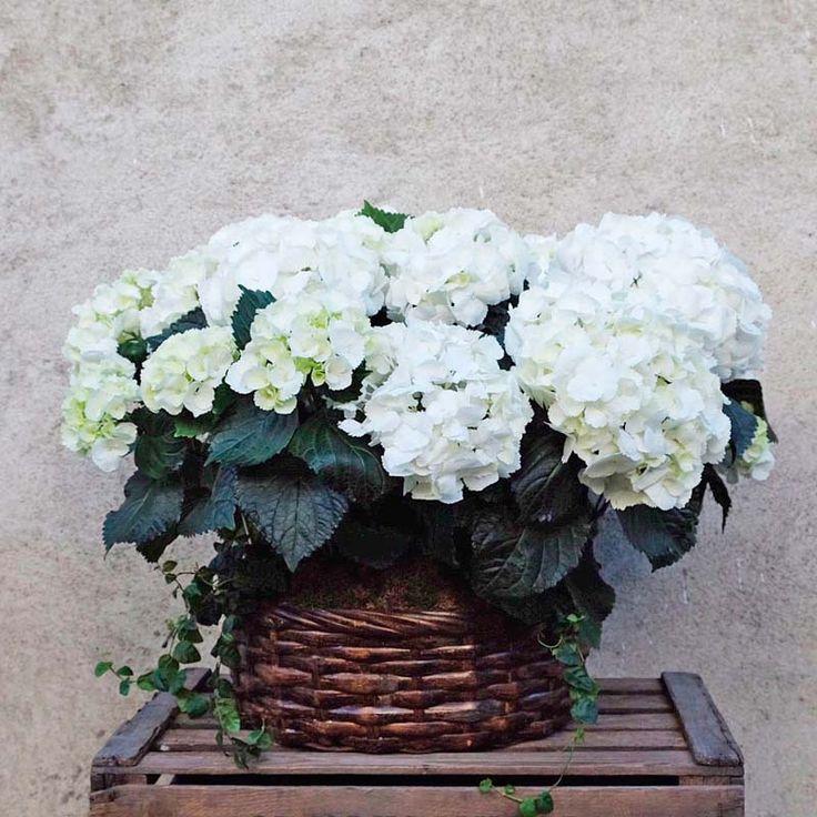 Envía una cesta de hortensias decoradas con musgo y presentadas en una cesta de mimbre. Un regalo elegante y decorativo, disponible para envío a domicilio. hydrangea