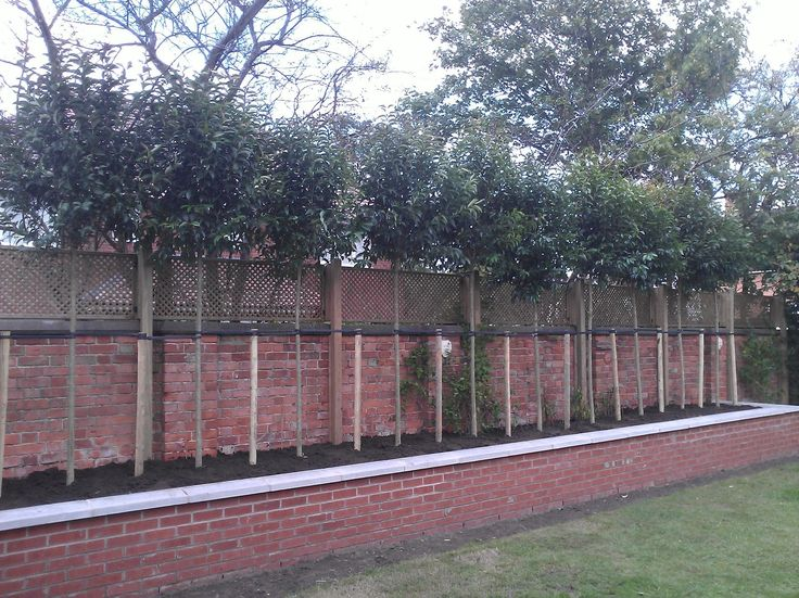 Screening and Privacy Trees - Fast Growing Shade Trees - Barcham Trees