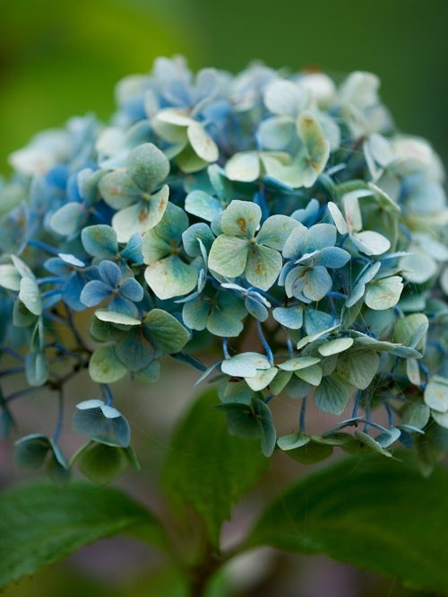 Hydrangeas - my favorite flower