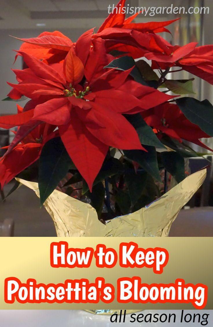How To Keep Poinsettia S Blooming Poinsettia Care Poinsettia Bloom