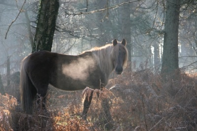 New Forest pony in the early morning