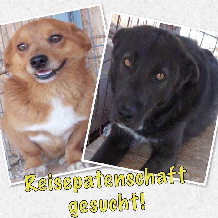 Reisepatenschaft Gesucht Wir Suchen Wieder Fur Unseren Nachsten Transport Am 29 6 Aus Rumanien Reisepaten Fur 12 Hu Tierschutz Hunde Hunde Was Kostet Ein Hund
