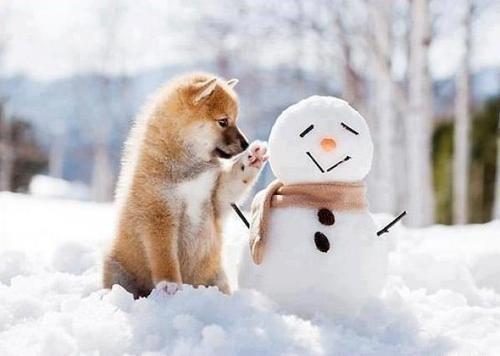 shiba inu with a snowman !!