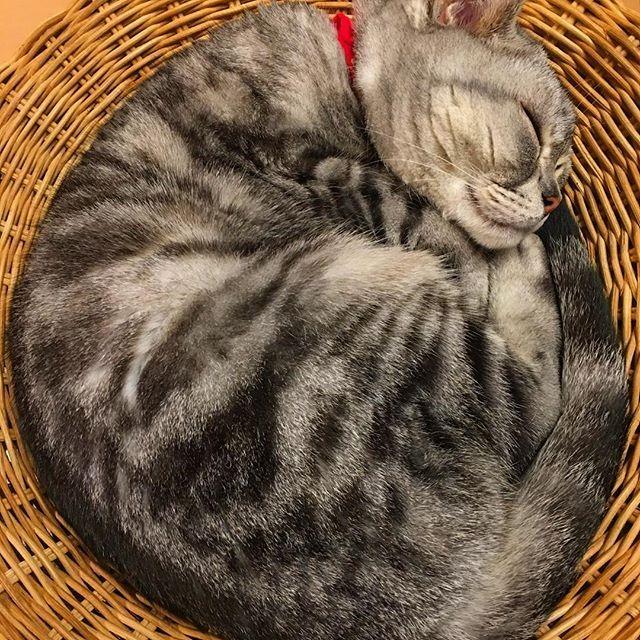 🌝😼😴おやすみなさい!😪😪💤 #愛猫 #猫 #ネコ #ねこ #neko #cat #寝子 #寝仔 #スコティッシュフォールド #scottishfold #コフク #赤鼻 #疲れたね #優しいコ #猫鍋 #IKEABED #おやすみ #goodnight #熱帯夜 #iphone撮影