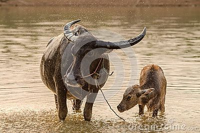 Carabao Stock Photos, Images, & Pictures – (414 Images)
