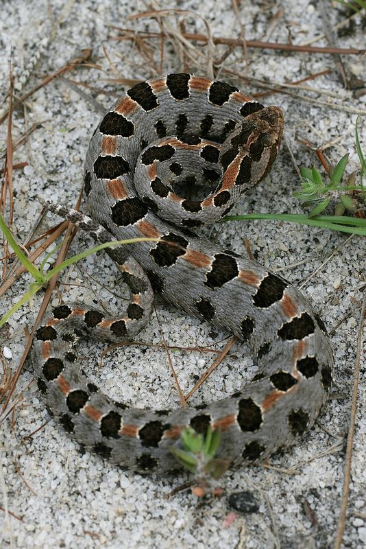 pygmy rattlesnake found in southeastern united states from southern eastern north carolina south through peninsular florida west to eastern texas
