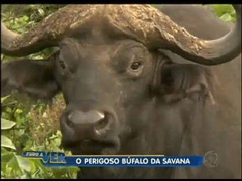 Tudo a Ver 08/06/2012: Búfalo é uma das cinco maiores feras do continent...