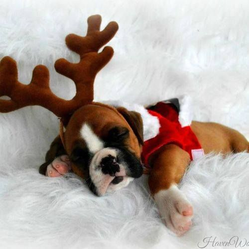 Reindeer Baby is sleeping...cute, but I still do not get the dressing up of dogs?