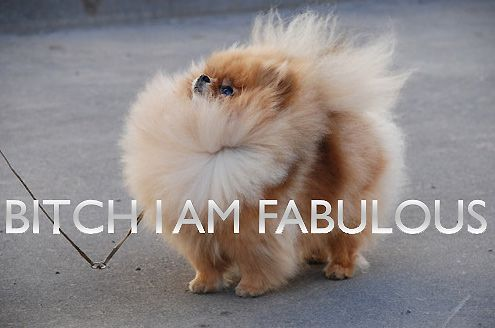 Bitch I'm fabulous!: Animals, Dogs, I M Fabulous, Funny, Funnies, Things, Pomeranian, I'M Fabulous