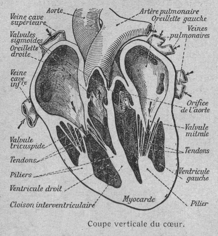 Coupe verticale du cœur humain                                                                                                                                                                                 Plus