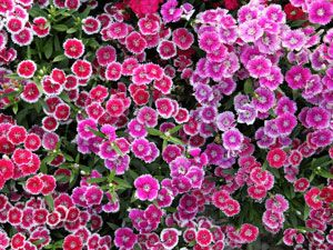 Best Perennials for any Yard: Pinks     (Dianthus gratianopolitanus 'Bath's Pink')     The itty-bitty pink blossoms on this low-growing plant emit a delightful clove scent.     Zones 3-9; full sun; blooms late spring/early summer