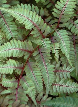 Athyrium niponicum 'Metallicum' - Highly variegated, green fronds are shaded with silver and highlighted with burgundy red, colors become more intense with some morning or afternoon sun