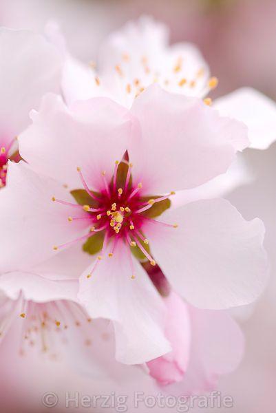 "Prunus dulcis ""Rosa Nr.10"" - Echte Süßmandel"
