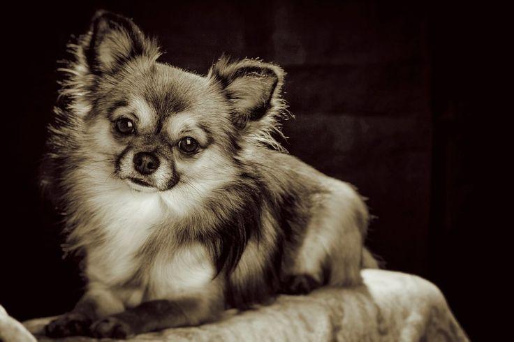 Le Chihuahua, un chien très people!
