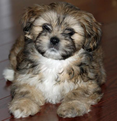 Shelby the Lhasa Apso | Puppies | Daily Puppy