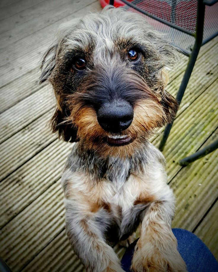 Wire haired dachshund puppies alabama