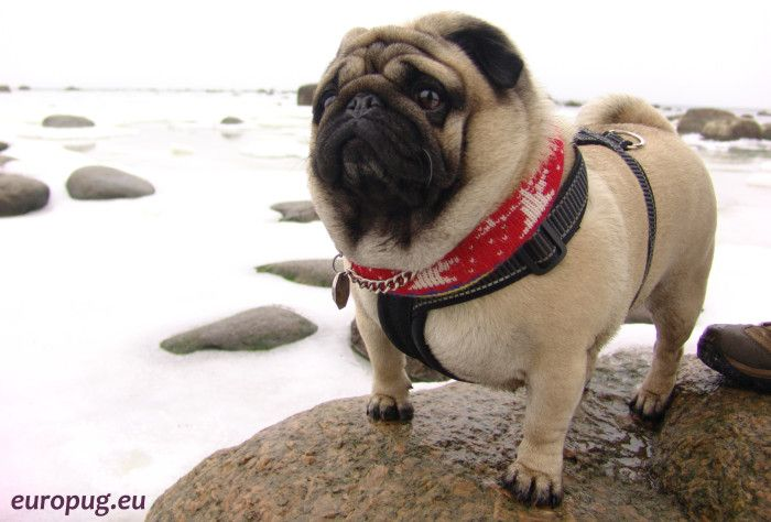 Gorgeous pug like a white polar bear standing on a rock.
