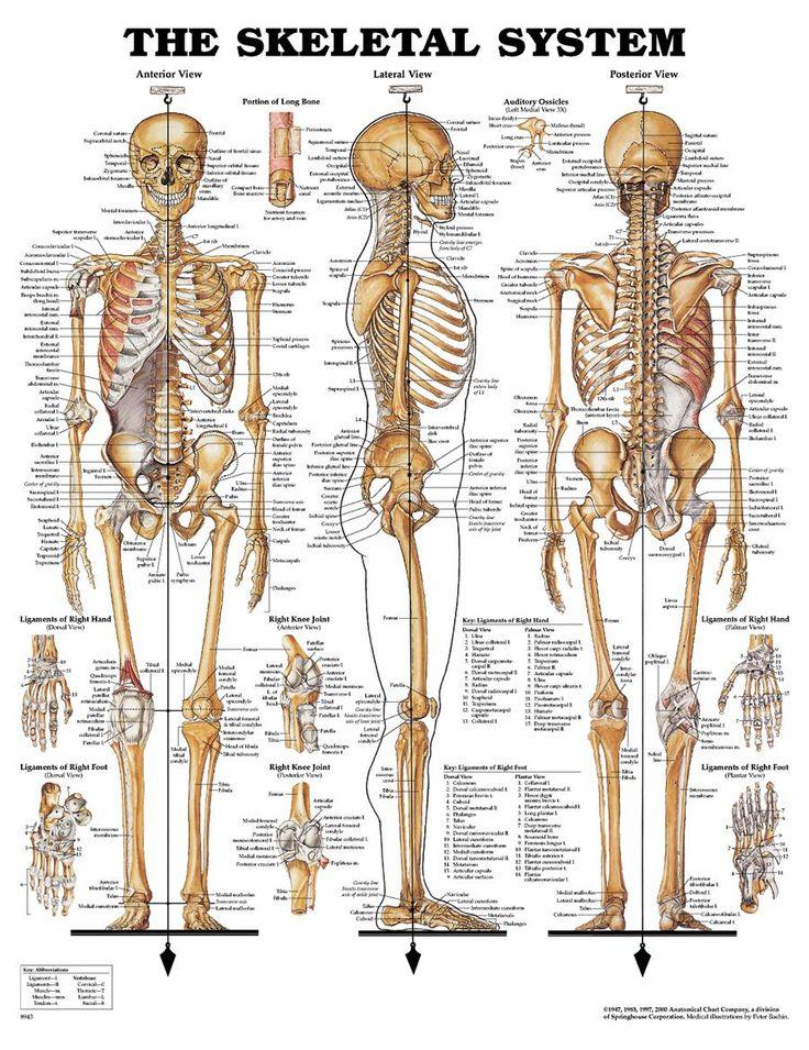 18 best Anatomy images on Pinterest   Health, Nursing schools and ...