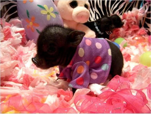 Miniature Pigs | micro mini pigs | Farm animals