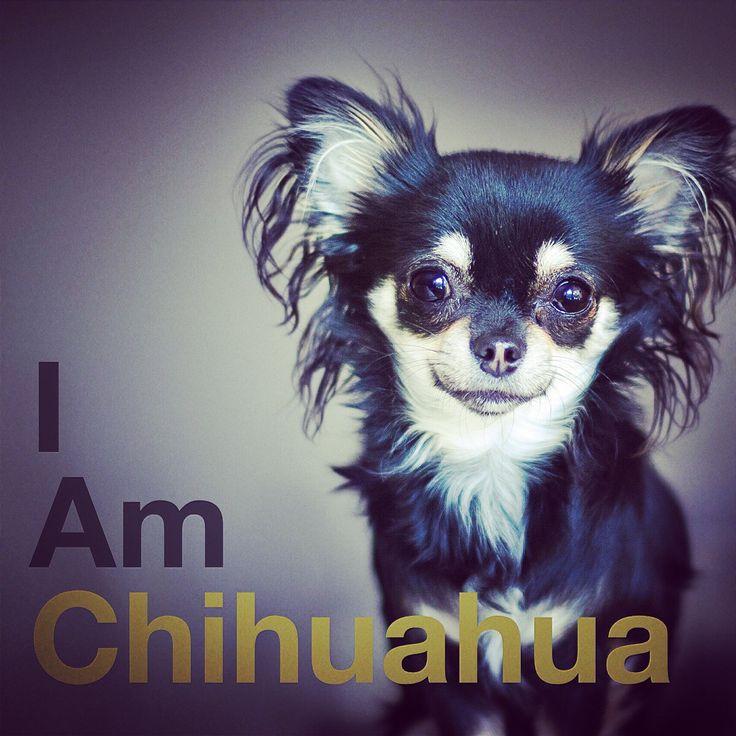 "Black and tan Chihuahua ""I Am Chihuahua"" photo by Åsa Zandelin"