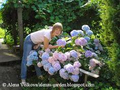 Гортензия в моем саду и не только. Рассказ о хлорозе гортензии.