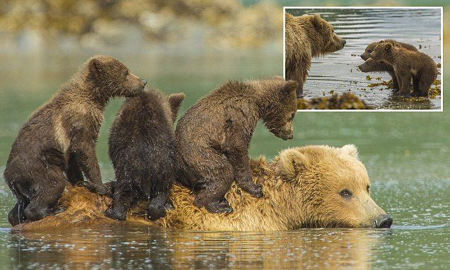 These young cubs know exactly how to cross a river in style ... and that's to ride across it bear-back.