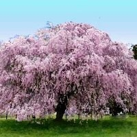 Weeping cherry - Prunus subhirtella 'Pendula Plena Rosea'. fast growing, 20-30' tall with 20-25' spread, easy to grow, tolerant of many conditions, deluge of delicate pink buds, full sun.