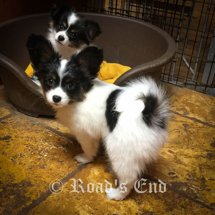 Extensive information about Papillon Dogs . Health, diet, daily care, history, available AKC registered Papillon puppies.