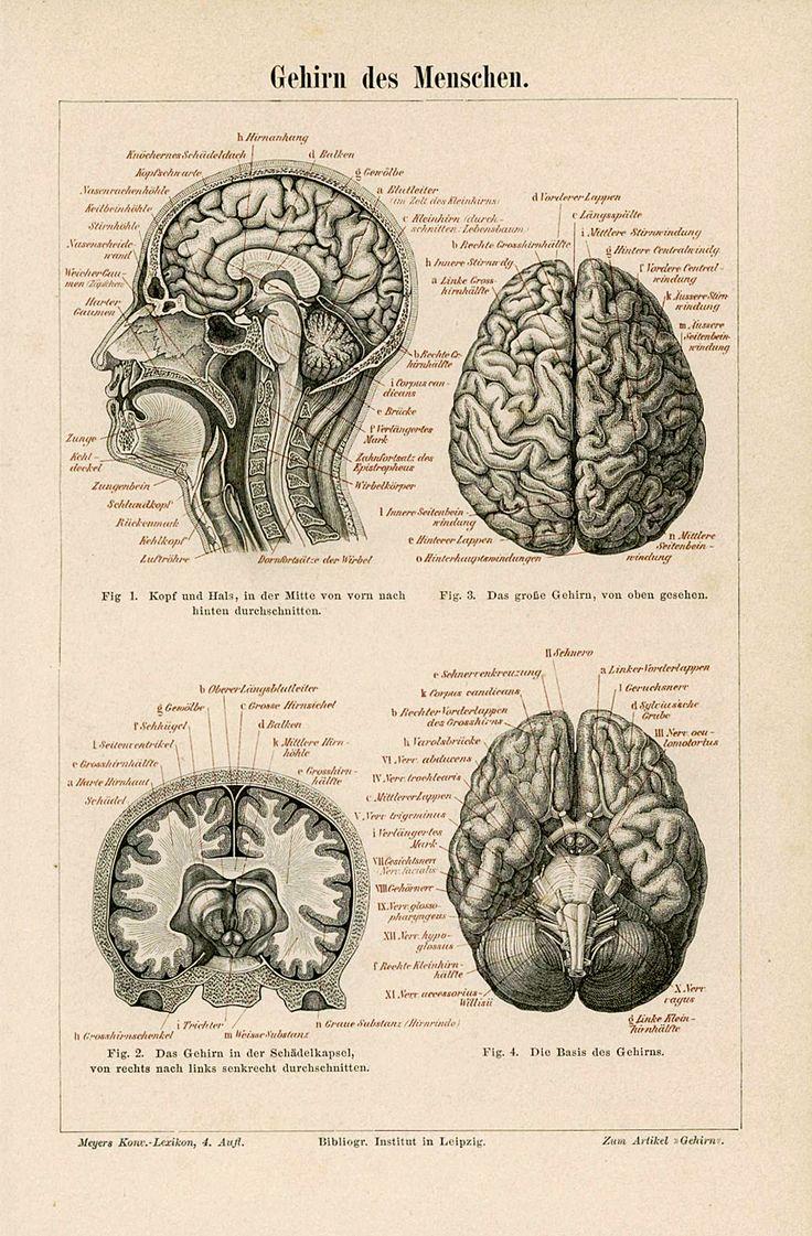 1894 Human Brains Antique Anatomy Print Original Skull Lithograph