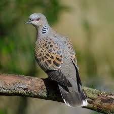 Image result for turtle doves