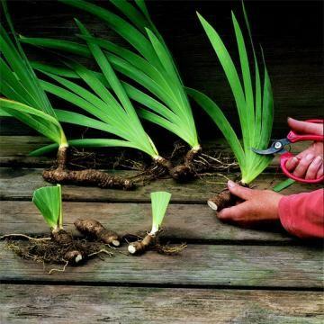 50 best bulbous tuberous - Fall gardening tasks ...