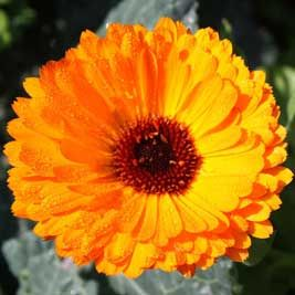 Calendula, Calendula officinalis. Macerated oil. Anti-inflammatory and vulnerary properties. Conditions for which it could be useful: varicose veins, skin rashes, superficial burns, sunburn, insect bites, eczema, broken skin.