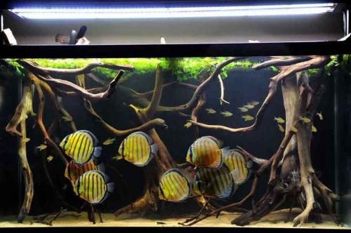 Wild discus themed tank.  Need to start finding natural drift wood for tanks!