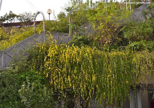 Jasminum mesnyi cultivada en grandes jardineras con un efecto de cascada de flores