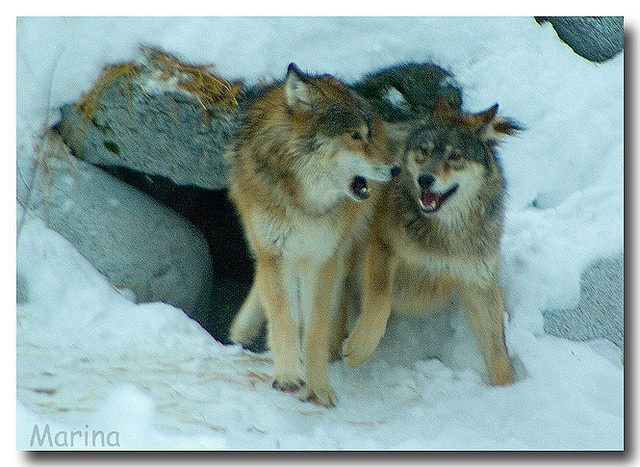 These beautiful animals have once again been taken off the endangered species list and now people want to hunt them again. Let's say NO!!Wolves of Ely, Minnesota International Wolf Center by Marina Castillo