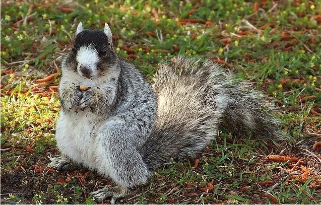 Shermans fox squirrel - rare breed