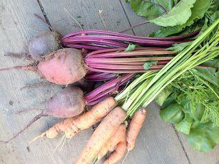 Punajuuri ja porkkana.