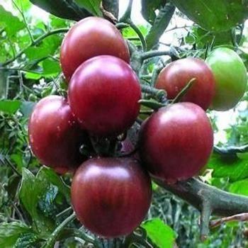 20PCS Black Pearl Tomato Seeds