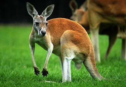 Kangaroo Facts For Kids | Kangaroo Habitat | Kangaroo Diet