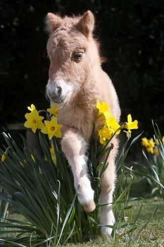 Anything small is naturally adorable, including this miniature shetland pony.