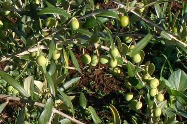 17 best images about olive cultivation on pinterest for Fertilizing olive trees in pots