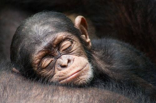 Plum tuckered out! (Sleeping Chimpanzee youngster.)