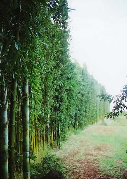 giant timber bamboo max 15m