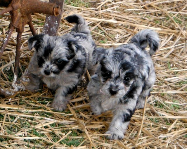 Images Of Unique Puppies  Blue Merle Yorkipoo Puppies -3851