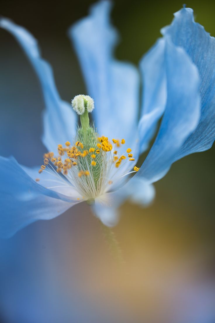 ~~Flighting Bird | Blue Himalayan Poppy | by Hideaki Yoshida~~