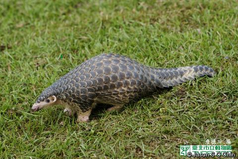 Chinese or Formosan Pangolin