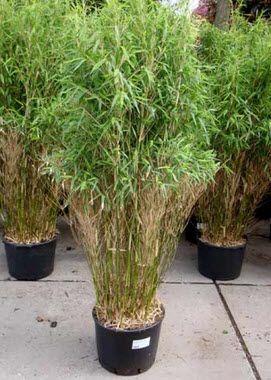 Купить саженцы бамбука Fargesia Murielae Jumbo