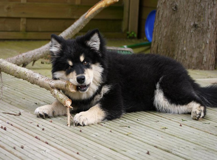 86 best images about finnish lapphund on pinterest